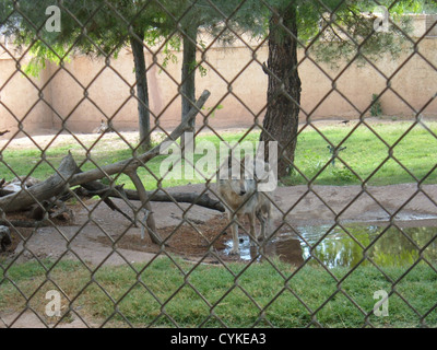 One of two Mexican Gray Wolves at Alameda Park Zoo, Alamogordo, New Mexico, standing in a pond. The other wolf is - Stock Photo
