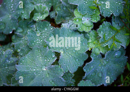 Alchemilla mollis Lady's Mantle with  Raindrops on Leaves - Stock Photo