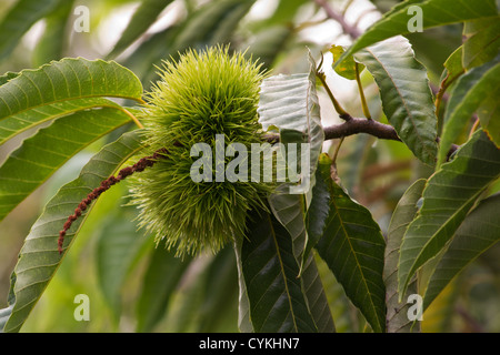Castanea sativa (Sweet chestnut) tree with fruit - Stock Photo