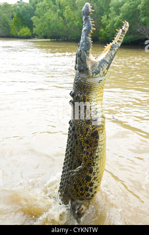Saltwater Crocodile (Crocodylus porosus), Adelaide River, Northern Territory, Australia, - Stock Photo