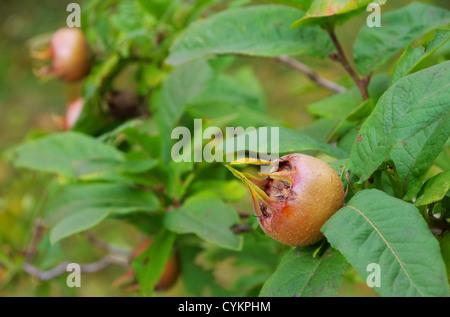 medlar fruit ripe medlar tree mespilus germanica l mispel. Black Bedroom Furniture Sets. Home Design Ideas