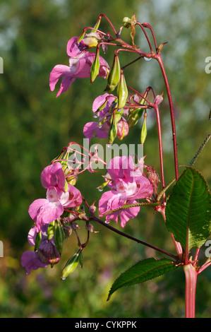 Himalayan Balsam - Impatiens glandulifera Invasive riverside plant