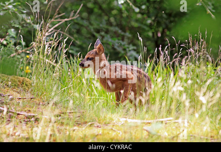 UK Britain Roe Deer Fawn - Stock Photo