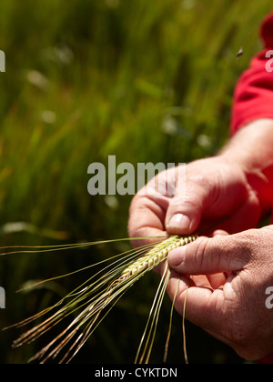 Farmer examining barley stalks in field - Stock Photo