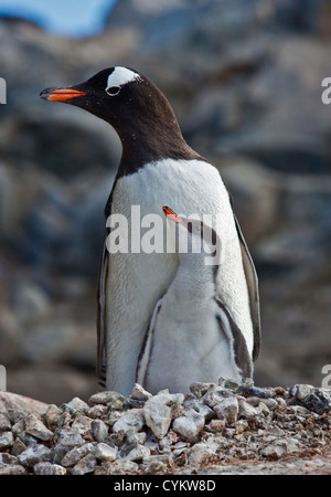 Gentoo Penguin (pygoscelis papua) and Chick on Nest, Port Lockroy, Antarctic Peninsula - Stock Photo