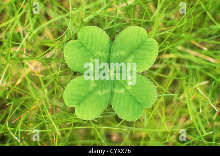 Close up of four leaf clover - Stock Photo