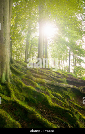 Mossy tree roots on forest hillside - Stock Photo