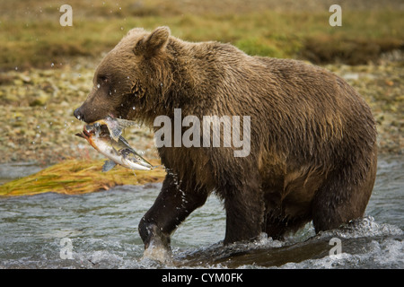 Grizzly Bear (Ursus arctos) with a caught Salmon in river, Katmai national park, Alaska, USA. - Stock Photo