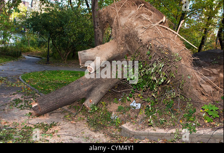 An Uprooted tree in Central Park, New York - Stock Photo