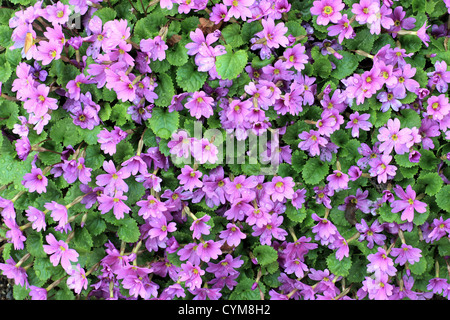 A bunch of pink flowers growing on a small shrub intense colour a bunch of pink flowers growing on a small shrub intense colour gives stock photo 18400965 alamy mightylinksfo
