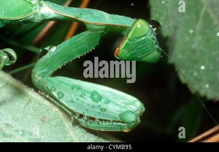 Praying mantis (Sphodromantis centralis) female Kenya - Stock Photo
