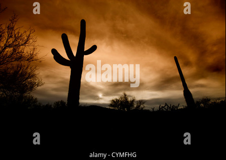 Saguaro cacti and other desert plants silhouetted against a cloudy sky at sunset. - Stock Photo