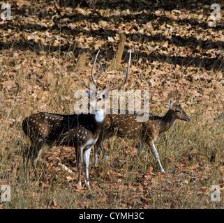 The pair of deer goes on wood. Bandhavgarh. India. - Stock Photo