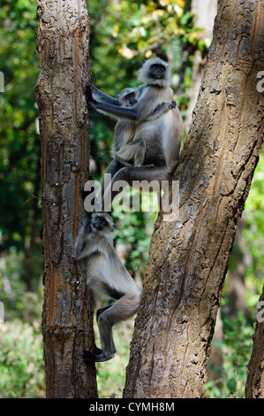 Family photo. The family photo Hanuman Langurs under a tree. India. Gray langurs or Hanuman langurs, (Semnopithecus - Stock Photo