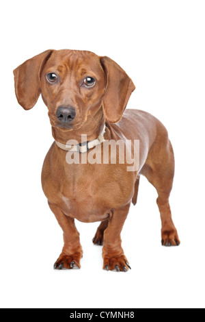 short haired dachshund standing in front of a white background - Stock Photo