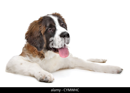 St Bernard puppy in front of a white background - Stock Photo
