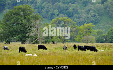 Cattle and sheep grazing together in open pasture - Stock Photo