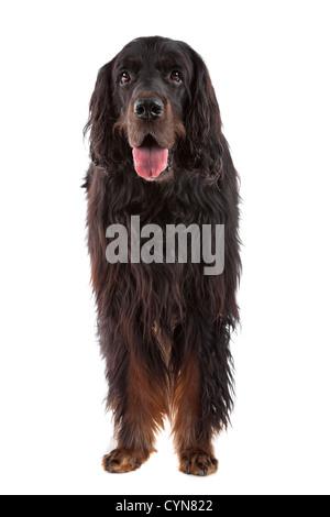 Irish Setter dog standing, on a white background - Stock Photo