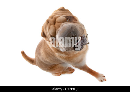 Chinese Shar-Pei isolated on white - Stock Photo