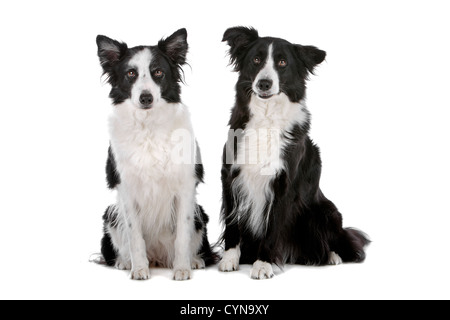 two border collie sheepdogs isolated on a white background - Stock Photo