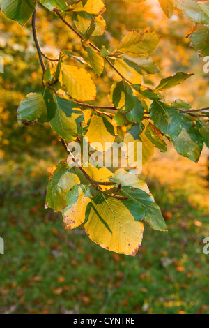 Autumn coloured leaves of a Common Beech tree - Stock Photo