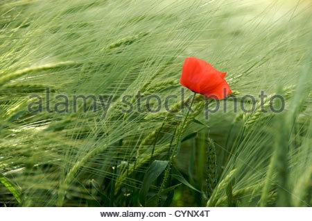 Single red poppy in field - Stock Photo