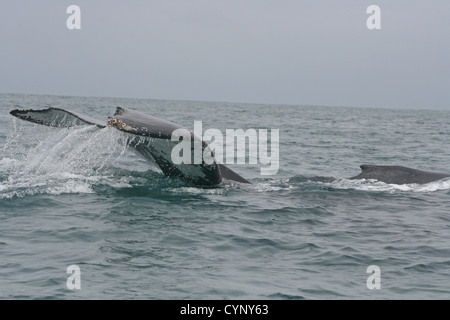 A large Humpback whale slaps the surface of the water in the Pacific Ocean with its tail near Tonsupa, Ecuador - Stock Photo