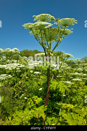 GIANT HOGWEED GROWING ON A RIVER BANK IN MORAY SCOTLAND - Stock Photo