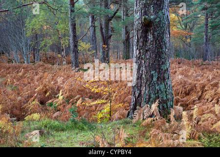 Caledonian Pine Pinus Sylvestris with Birch Sapling Growing Next to it, Glen Torridon Scotland UK - Stock Photo