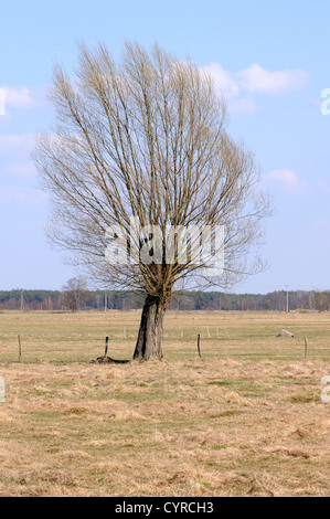 Old willow tree, countryside on Mazovia region in Poland - Stock Photo