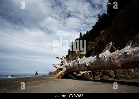 Giant dead bleached driftwood tree trunk on the isolated deserted beach in Olympic National Park, Washington, USA. - Stock Photo