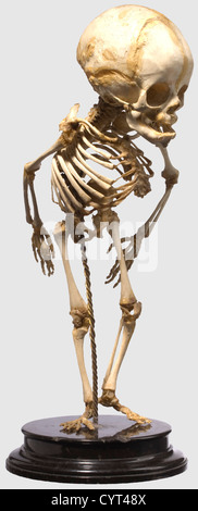 A German skeleton prepared for pathological or anatomical studies, 19th Century Elaborately prepared, complete skeleton - Stock Photo