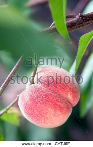 peach fruit (Prunus persica) on the branch - Stock Photo