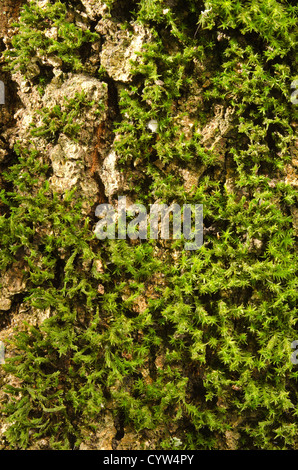 Star moss Tortula ruralis close up detail colonization on decaying dead apple tree trunk bark in forgotten orchard - Stock Photo