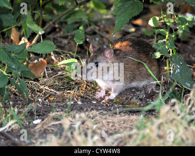 Common Rat ( Ratus norvegicus ) Searching for food in the undergrowth - Stock Photo