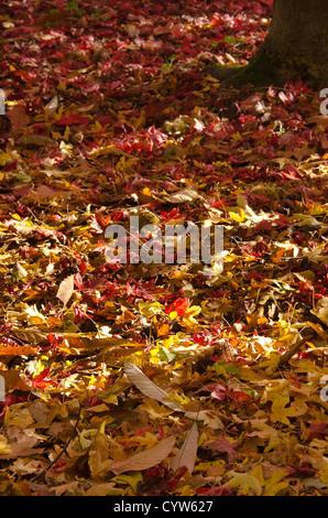 Mixture of fallen autumn hard wood leaves on woodland floor chestnut maple oak hawthorn beech acer - Stock Photo