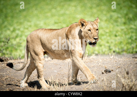 TARANGIRE NATIONAL PARK, Tanzania - A female lion on the prowl during the day at Tarangire National Park in northern - Stock Photo