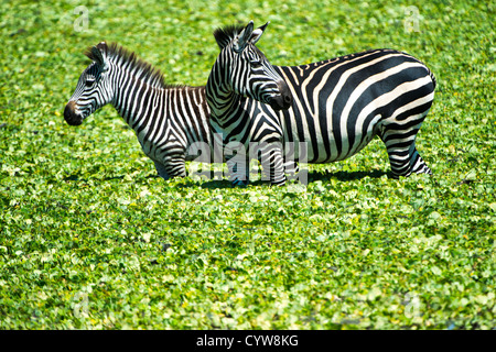 TARANGIRE NATIONAL PARK, Tanzania - A pair of zebras stand in the shallow waters of a small reed-covered lake at - Stock Photo
