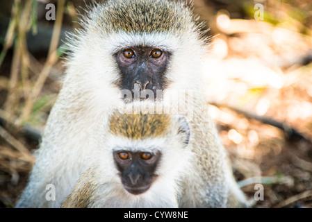 TARANGIRE NATIONAL PARK, Tanzania - An adult and young vervet monkey at Tarangire National Park in northern Tanzania - Stock Photo