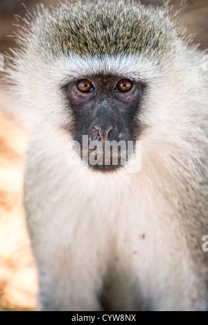 TARANGIRE NATIONAL PARK, Tanzania - A vervet monkey looks straight at the camera at Tarangire National Park in northern - Stock Photo
