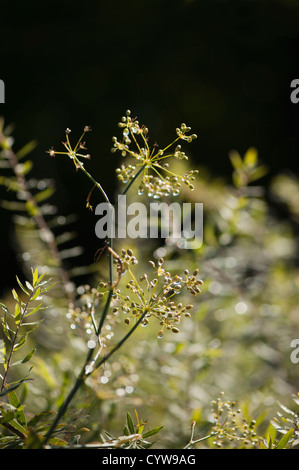 Seeds forming on Bronze Fennel, Foeniculum vulgare 'Purpureum' - Stock Photo