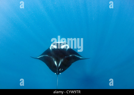 Giant manta ray, Manta birostris, Pohnpei, Federated States of Micronesia - Stock Photo