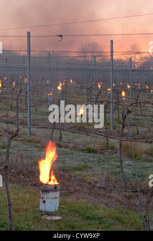 Paraffin burner 'bougies' lit in vineyard in West Sussex, UK to protect grapes from frost. Dawn. April. - Stock Photo