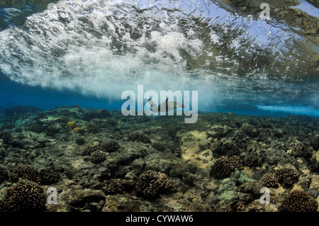 Juvenile green sea turtle, Chelonia mydas, swims in shallow coral reef, Captain Cook, Big Island, Hawaii, North - Stock Photo