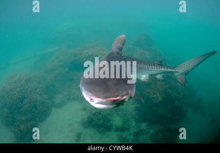 Young tiger shark, Galeocerdo cuvier, Kaneohe, Hawaii, USA - Stock Photo