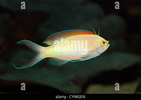 Underwater view of a colorful Anthias fish (Pseudanthias spp.) - Stock Photo