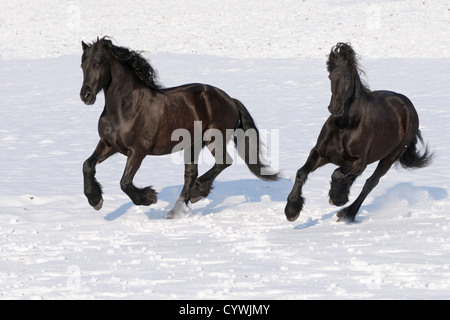 Two Friesian horse galloping in winter - Stock Photo