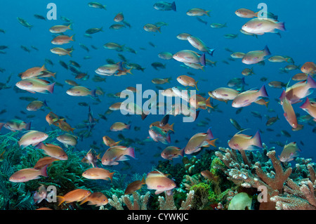Reef scenic with Acropora corals and scalefin anthiases, Pseudanthias squamipinnis, Komodo Indonesia - Stock Photo