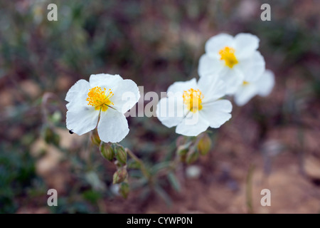 White Rockrose; Helianthemum apenninum; Pyrenees; Spain - Stock Photo