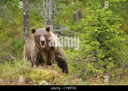 Eurasian Brown Bear (Ursus Arctus Arctus) in East Central Finland. - Stock Photo